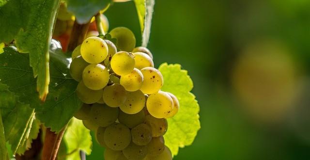 Vino bianco inzolia