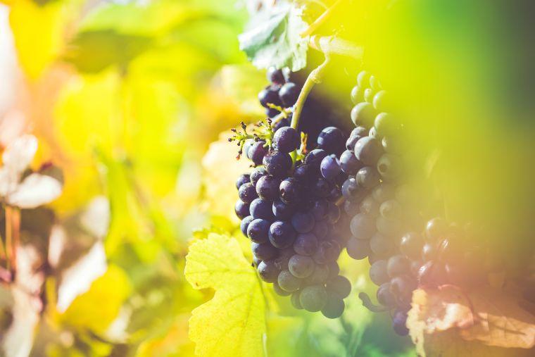 grappolo uva vino