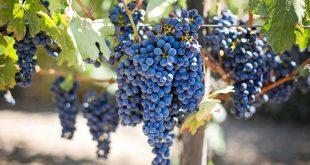 Il vino più antico del mondo appartiene alla Georgia